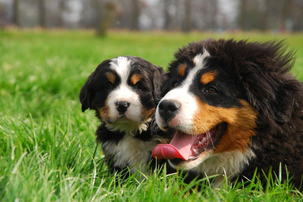 Berner Sennen Pups - Klein Alpenhof Berner Sennen Pups